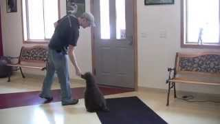 Bill The Miniature Poodle Training