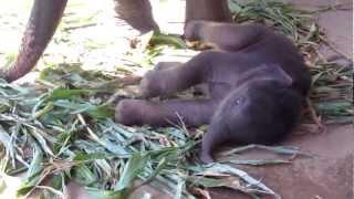 Baby Navann - Elephant Nature Park Chiang Mai