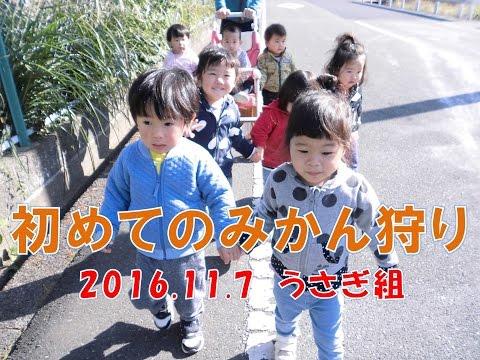 八幡保育園(福井市)うさぎ組(1歳児)がみかん狩りに出かけました。2016年11月