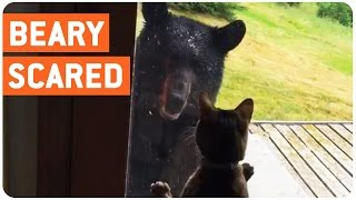 Video Cat Scares the S**T Out of Bear MP3, 3GP, MP4, WEBM, AVI, FLV Agustus 2017