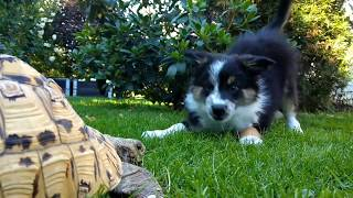 Border collie puppy tries to play with tortoise, but pisses himself instead