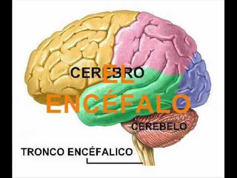 Sistema Nervioso [ I.E. - 146 ]