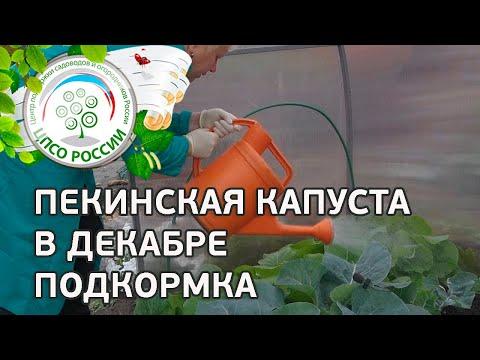 Выращиваем пекинскую капусту через семена осенью. Как получить урожай пекинской капусты в декабре.
