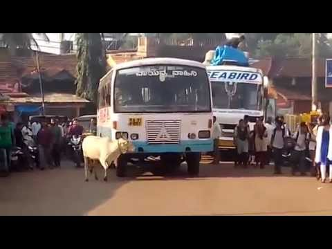 Cow looking for redemption from a Bus that killed her Calf