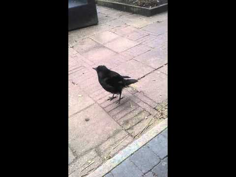 Tämä lintu on elänyt kanojen kanssa – Kuuntele!