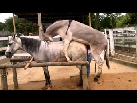 Jumento Nick Bengala cobrindo egua