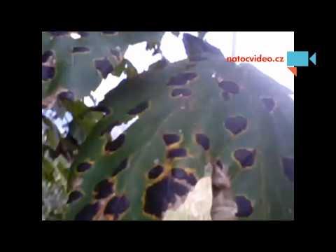 Tigri nebo maskovaný listí