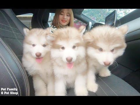Đi bắt trộm được 3 bé Mật con mặt như Tôn Ngộ Không - cho ngay lên xe mang về Mật Pet Family - Thời lượng: 11 phút.