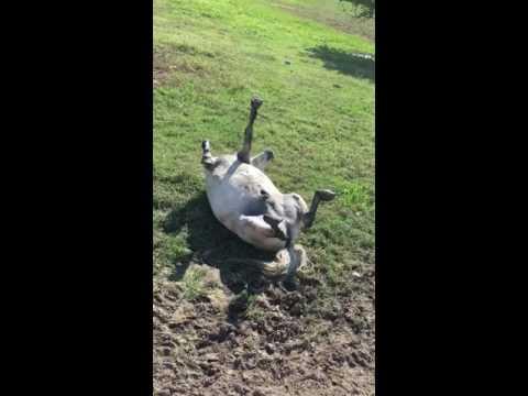 Omistaja yrittää saada ponin jaloilleen – Pinto tykkää leikkiä kuollutta