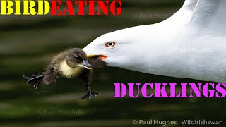 Mother ducks frantically attacking a bird that's eating baby ducklings. Birds and other wild animals attack and eat baby ducks in the duck breeding season but these predators are also attacked by the mother ducks that are trying to prevent their babies from being caught and eaten.