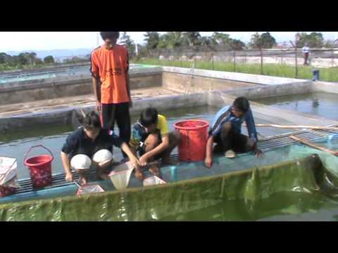 -oke.com/cara-budidaya-ikan-nila/Cara budidaya dan ternak ikan nila