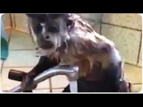 monkey - Prepping for a talk show, Squirt the monkey takes a shower to make sure she smells good! SUBSCRIBE for awesome videos every day!: http://bit.ly/JukinVideo LIKE us on FACEBOOK: ...