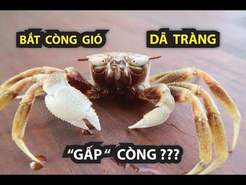 BẮT CÒNG GIÓ, DÃ TRÀNG …!!!