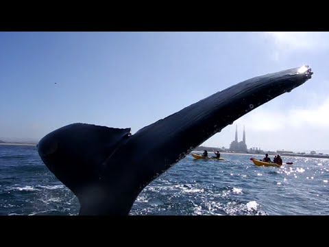 Whale nearly high fives kayaker in the face