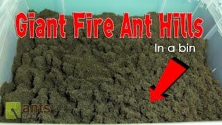Fire Ants Bild Giant Ant Hills in a Bin