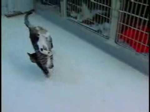 Katt gående på frambenen