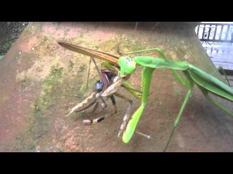 螳螂不僅會補蟬,也會狠心吃螳螂!!肉弱強食