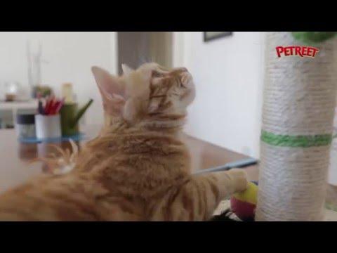 Come fare usare il tiragraffi al tuo gatto