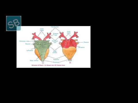 7 Frog circulatory system