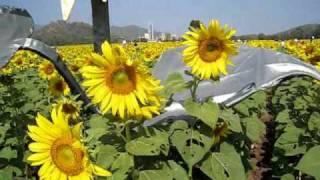 Saraburi Thailand  city pictures gallery : Sunflowers in Saraburi Province, Thailand