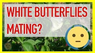"Check out two white butterflies mating / look stuck together on a plant.  Saw these two while bringing in the trash cans and decided to take a little video.  They flew away still attached and landed on a different plant.  It was very interesting to witness.  These are truly beautiful insects.In terms of white butterfly meaning some people think it means good luck and is a sign that you will have a good life.  White butterflies also symbolize past spirits/souls.  There are other symbolic meanings in different cultures. Some belief it is the soul of child, others believe it is a sign of death.In terms of life cycle of a butterfly, mating is definitely an important part as it sets in motion the rest of the stages of a butterfly like the cocoon stage of the life cycle.  There are many pictures of this online.  I'm not sure what species this is, but it's white with a black dot and silky wings.Different types of butterflies all share similar facts like: ""Butterflies are beautiful, flying insects with large scaly wings. Like all insects, they have six jointed legs, 3 body parts, a pair of antennae, compound eyes, and an exoskeleton. The three body parts are the head, thorax (the chest), and abdomen (the tail end). (via enchatqdlearning.com)For more insect, creature and animal videos, check out or Animals playlist at https://www.youtube.com/playlist?list=PLmL7JMU7aON9KStQQZ_zn_Uyt_sj4oB--.  You'll find all sorts of living creatures there from ducks to birds and spiders.  This will be the Animals section of the vLog.  We share this planet with all sorts of life forms, check out videos of them like the ones here.  I'll try to get as much footage as possible and upload to this playlist.  Subscribe and check back soon for more critters!For more info on my animal encounters, check out our website at: http://www.MySuLonE.Com.Copyright 2016 MySulone.Com. All rights reserved. All other company, product and/or service names used in this video are solely for the purposes of identification. All trademarks are the property of their respective owners."