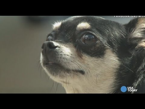 'Feisty' Chihuahua survives fight with coyote