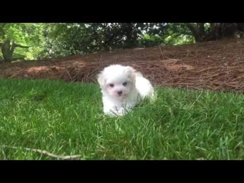 Rosey is the little girl MaltiPoo every family dreams of
