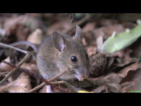 Лесная мышь (Ural field mouse)