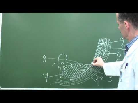 Послойная топография поясничной области и забрюшинного пространства