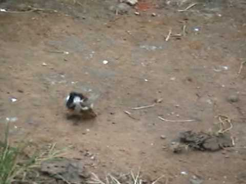 Courtship Dance Of Male House Sparrow -valparai