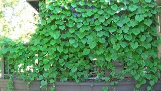 Trellised Grandpa Ott Morning Glory vines have beautifully wound their way around my home. I've planted fast-growing Ipomoea...
