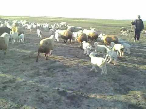 42 animals Shiraki, Shepherd Life Georgia