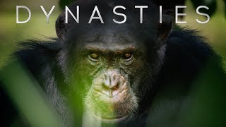 Meet David: The Alpha Chimp Defending His Crown | Dynasties | BBC Earth