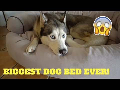 SOMEONE SENT US A HUGE COUCH FOR GOHAN! - Husky Fan Mail #4