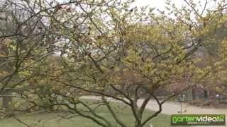 #993 Zaubernuss Primavera - Hamamelis x intermedia