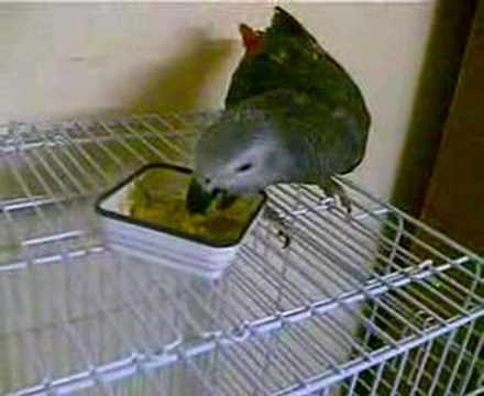 Feeding African Gray Parrot my pet (Dany)