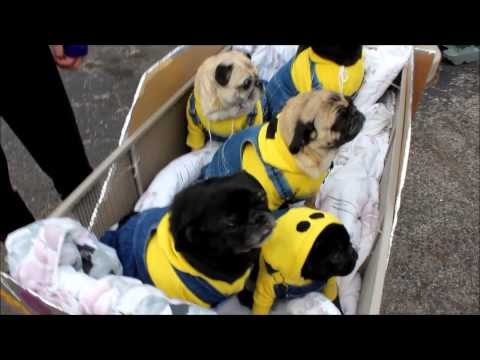 Minion Pugs at Beggin' Pet Parade 2014