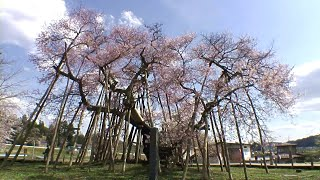 【HD】山形県 伊佐沢の久保桜 – がんばれ東北!