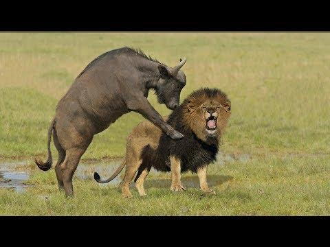Incredible Lion Vs Buffalo | Buffalo Kill Lion To Save His Life