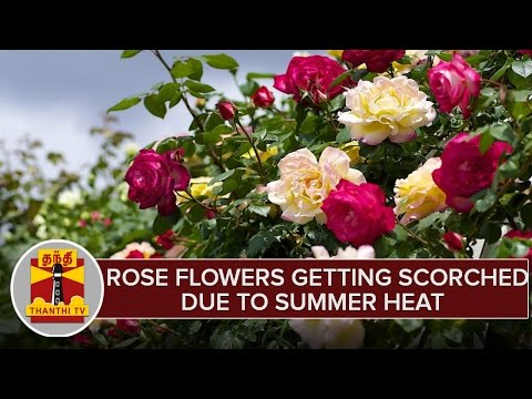 Rose-Flowers-Getting-Scorched-Due-To-Summer-Heat-Hosur-Farmers-Disappointed
