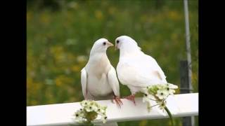 dove sound effects - efek suara merpati