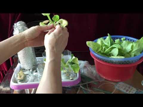 Harvesting Lettuce after 8 weeks
