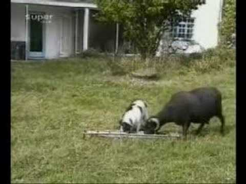 dennisqui - Dog versus Goat fighting for food. Who do you think will going to win?