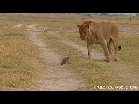 Lion and mongoose attack