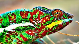 New research shows chameleons actively tune nano-crystals to change their color. For a 10-day free trial, check out http://lynda.com/veritasium Chameleon res...