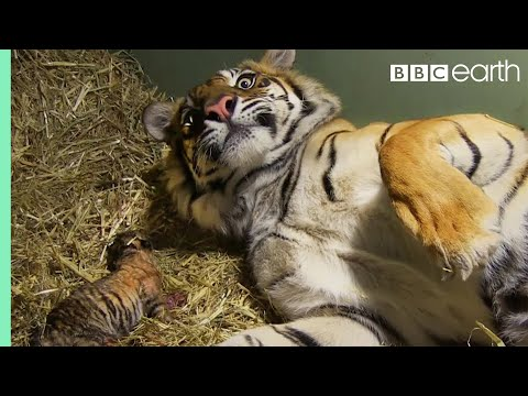 Birth of Twin Tiger Cubs | Tigers About The House | BBC Earth