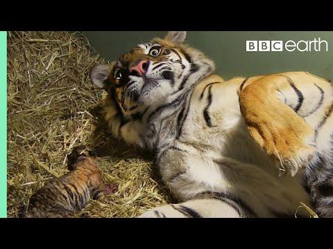 兇猛的老虎媽媽在罕見的生產雙胞胎過程中流露出母愛,牠一臉超呆萌的模樣平時完全看不到啊!