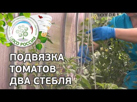 Как подвязать томаты с двумя стеблями. Подвязка помидоров.