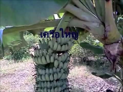 กล้วยน้ำว้าพันธุ์เตี้ย Banana Tree