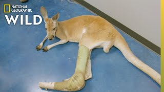 A Kangaroo In Need | Dr. T, Lone Star Vet by Nat Geo WILD